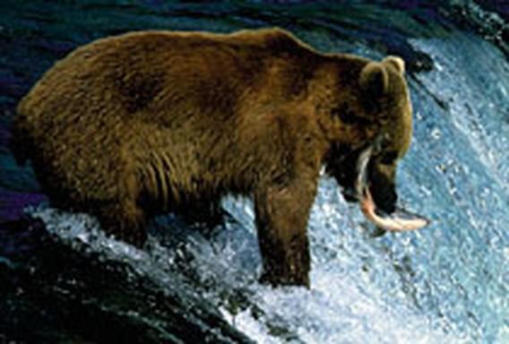Bruine beer uitgezet in Franse Pyreneeën