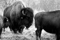 De Europese bizon is een afstammeling van de Amerikaanse.