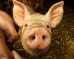 Het varken: even intelligent en sociaal als een hond.