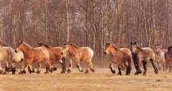 In 1910 werkten in België rond de 317.000 zware boerenpaarden.