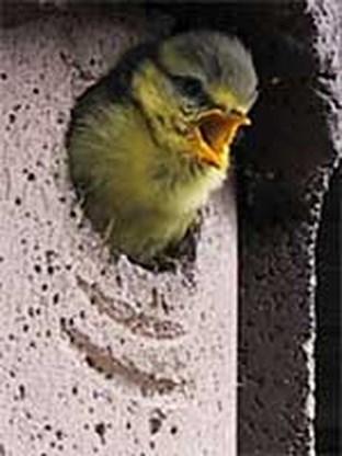 Vogels in Nederland nestelen zich steeds vroeger