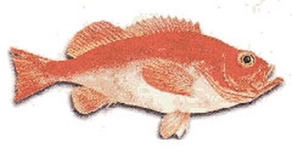 Roodbaars is 'Vis van het Jaar'