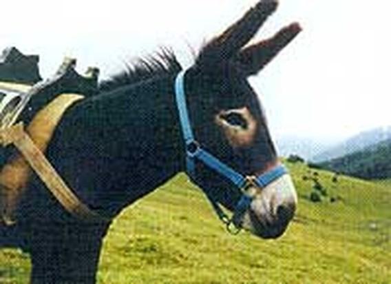 CAO voor ezels