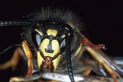 In 2004 waren er in Limburg bijna 11.000 wespennesten.