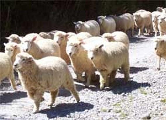 400 schapen springen ravijn in