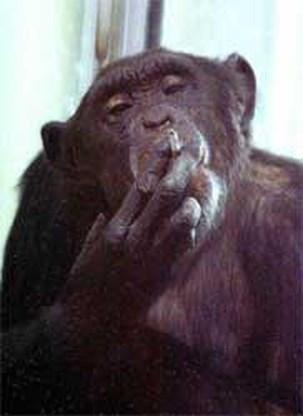 Chimpansee stopt met roken na zestien jaar