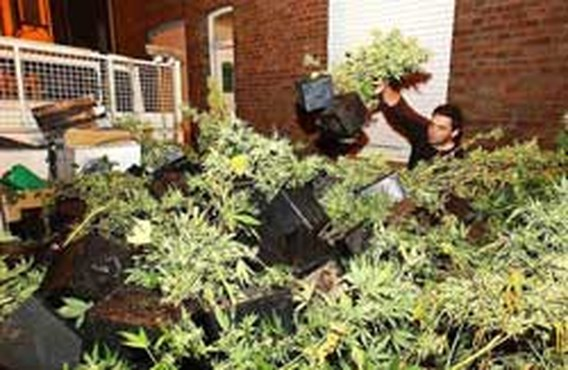 Cannabisplantage ontdekt in Wevelgem