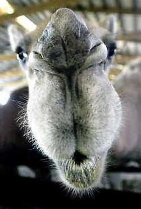 Antilichamen kamelen mogelijk bruikbaar in mens