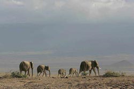 Keniaanse olifanten breken door hevige droogte