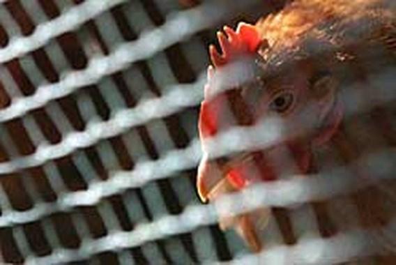 Eerste geval van vogelgriep in Zwitserland