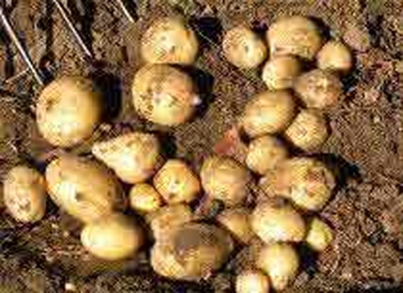 Belg dol op aardappel, ook al zit er weinig smaak in