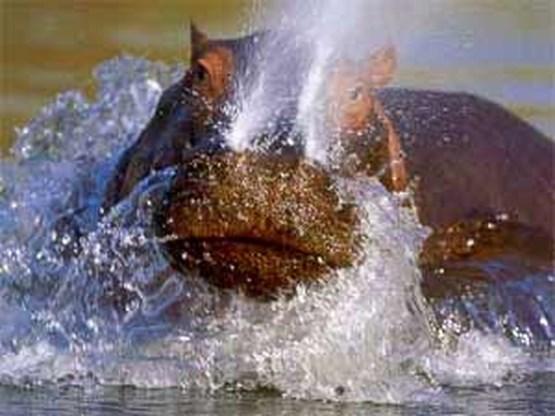 IJsbeer, nijlpaard en zoetwatervissen met uitsterven bedreigd