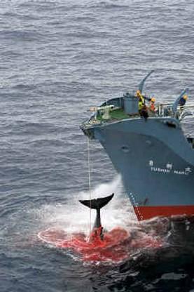 Japan haalt walvisvloot sneller uit Antarctica terug