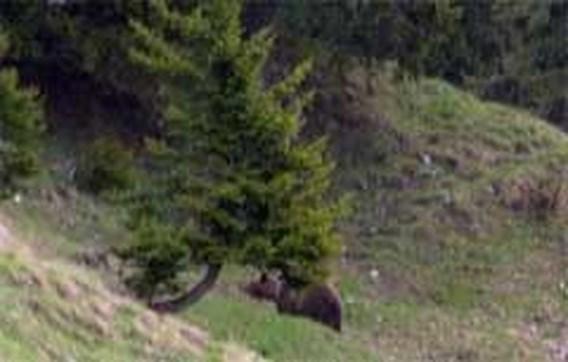 Bruine beer doodgeschoten