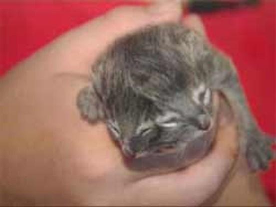 Kat met twee gezichten geboren
