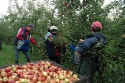Blijkbaar hebben de talrijke boomgaarden een minder grote invloed op de gezondheid dan wordt aangenomen.