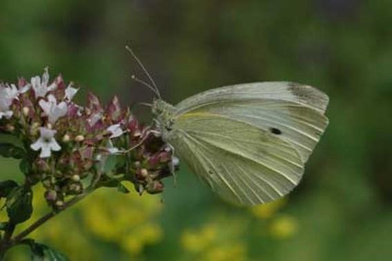 Honderden mensen tellen vlinders in hun tuin