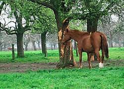 De paarden eten op de boomgaard niet enkel gras, maar vreten ook aan de stammen van de bomen.<br>Lieven Volckaert