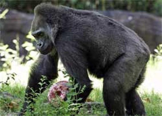 125.000 gorilla's ontdekt in Congo