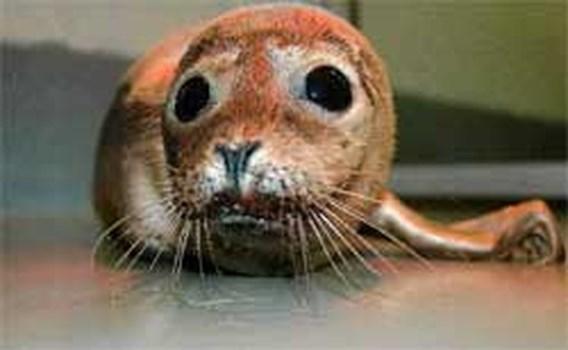 Kleinste zeehond ooit binnengebracht bij Sea Life Blankenberge