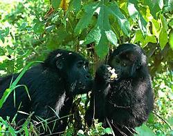 Gorilla's in het grensgebied met Congo.