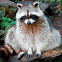 De wasbeer komt oorspronkelijk uit Noord-Amerika.rr<br>