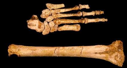 De lange voet en het dijbeen van de Floresmens.Djuna Ivereigh/Arkenas