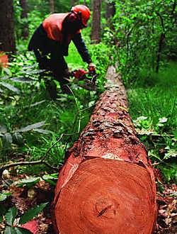 In enkele weken gaan er vijftienduizend bomen tegen de vlakte.tab
