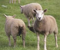 Wie in contact komt met besmette schapen of geiten, kan zwaar ziek worden.