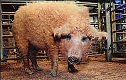 Binnenkort wordt er op landgoed Altembrouck gekweekt met dit Mangalitsa-varken. Photo News
