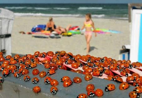 Lieveheersbeestjes bezetten een strandstoel in Warnemünde, aan de Duitse Oostzeekust. epa