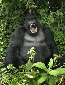 De kans dat de overdracht van het virus gebeurt bij consumptie van gorillavlees is klein, omdat mensen het vlees bereiden voor ze het eten. Bij verhitting gaat het virus dood.