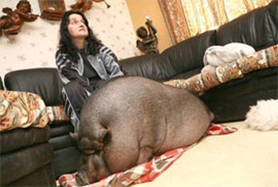 Hangbuikzwijn Flurk zorgt voor heibel