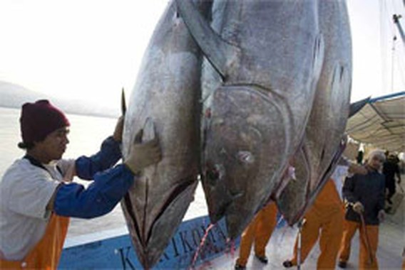 Weerstand tegen exportverbod tonijn groeit