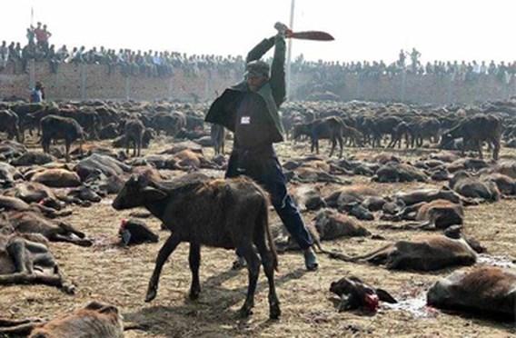 Hindoefeest in Nepal: 200.000 dieren geofferd
