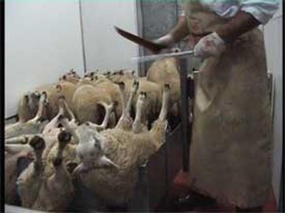 Gaia choqueert met beelden Belgische slachthuizen