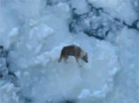 Hond drijft 100 kilometer mee op ijsschots