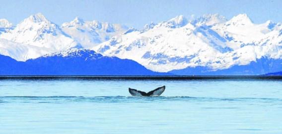 Een walvissenstaart voor de kust van Alaska. De Inuit-bevolking klaagt bedrijven als ExxonMobil en BP aan als verantwoordelijken voor de klimaatverandering waardoor zij schade lijden. ap