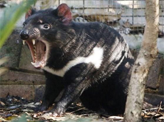 Er is weer hoop voor de Tasmaanse duivel