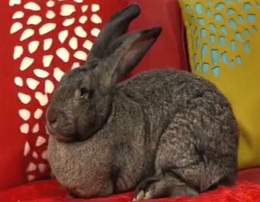 Grootste konijn heeft afmeting zesjarig kind