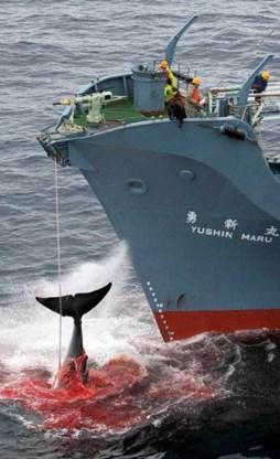 Australië verwerpt voorstel walvisjacht