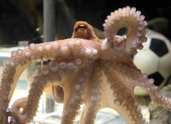 Octopus Paul met de dood bedreigd