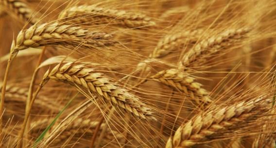 Graanprijs bijna verdubbeld door slechte graanoogst