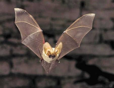 De vleermuis is een beschermde diersoort en mag dus niet verdelgd worden. René Janssen/Buiten-Beeld/HH/