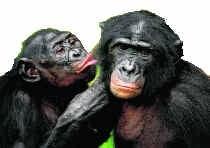 We kunnen veel leren van tedere momenten tussen bonobo's. rtr