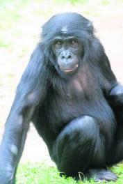 De overleden bonobo Jasiri.js