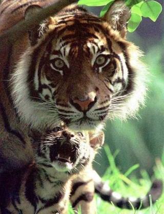 Zeldzame Sumatraanse tijger baart drie welpjes