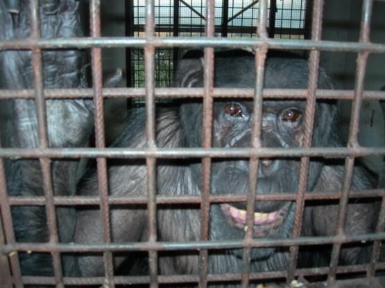Chimpansee bevrijd uit garagebox