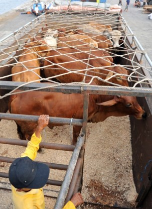 Australië schort export vee naar Indonesië op na beelden dierenmishandeling