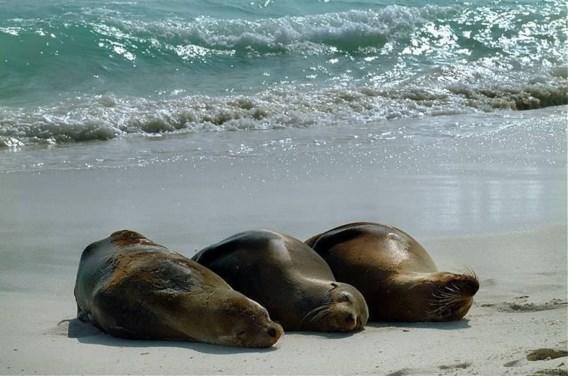 Ongerustheid over griepvirus bij zeehonden